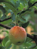 An Apple in the Ripening Stage Near Harvest Time Photographic Print by Don Grall