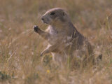 Black-Tailed Prairie Dog, Cynomys Ludovicianus, Wyoming, USA Photographic Print by John & Barbara Gerlach