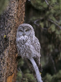 Great Gray Owl in a Coniferous Forest Photographic Print by Tom Ulrich