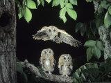 A Screech Owl in Flight, Otus Asio Photographie par Joe McDonald