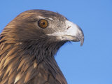 Golden Eagle Head Showing its Eye and Bill (Aquila Chrysaetos), North America Photographic Print by Tom Walker