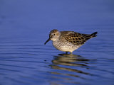 White-Rumped Sandpiper in Breeding Plumage, Calidris Fuscicollis, Canada Photographic Print by Arthur Morris