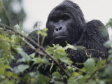 Male Mountain Gorilla, Gorilla Gorilla, an Endangered Species, Bwindi Forest, Uganda, Africa Photographic Print by Joe McDonald