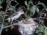 Warbling Vireo at its Nest with Young, Vireo Gilvus, North America Photographic Print by Charles Melton