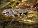 Wood Frog Metamorphosing Tadpole with Four Legs (Rana Sylvatica). Eastern Usa. (Rana Sylvatica Lmina fotogrfica por Michael Redmer
