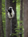 Coquerel's Sifaka, Propithecus Verreauxi Coquereli, a Type of Lemur from Madagascar, Africa Photographic Print by Joe McDonald