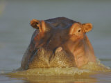 Hippopatamus, Hippopotamus Amphibius, on the Surface of Lake Baringo, Kenya, Africa Photographic Print by Arthur Morris