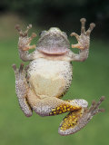 A Gray Tree Frog, Pads Visible Lmina fotogrfica por Gary Meszaros