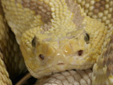 North Western Neo-Tropical Rattlesnake, , Crotalus Durissus Culminatus, Xanthic Specimen, Mexico Photographic Print by Jim Merli
