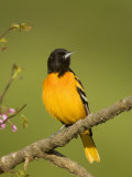 Baltimore Oriole, Icterus Galbula, Eastern USA Photographic Print by John Cornell