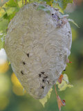 Bald-Faced Hornet Hive Photographic Print by Gustav W. Verderber