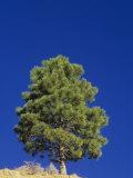 Pinyon Pine, Pinus Edulis, Zion National Park, Utah, USA Photographic Print by Adam Jones