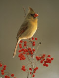 Female Northern Cardinal, Cardinalis Cardinalis, Among Hawthorne Berries Reproduction photographique par Adam Jones