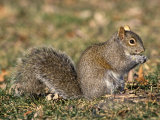 Eastern Gray Squirrel Eating a Seed (Sciurus Carolinensis), Eastern USA Photographic Print by Tom Ulrich