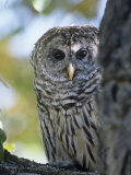 Barred Owl (Strix Varia), Colorado, USA Photographic Print by Tom Walker