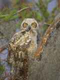 Great Horned Owl, Bubo Virginianus, . Southern USA Photographic Print by John Cornell