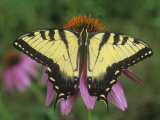 Tiger Swallowtail Butterfly (Papilio Glaucus) Eastern USA Photographic Print by Gary Meszaros
