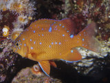 Garibaldi Juvenile (Hypsypops Rubicundus), Southern California to Northern Mexico Photographic Print by Ken Lucas