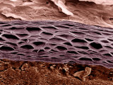 Cross Section of Human Skin Showing the Stratum Corneum Layer of the Epidermis Photographic Print by Veronika Burmeister