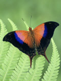 Iole's Daggerwing Butterfly (Marpesia Iole), Family Nymphalidae, Costa Rica Photographic Print by Leroy Simon