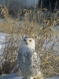 Snowy Owl Protectively Colored on Snowy Ground, Nyctea Scandiaca, North America Photographic Print by Bill Banaszewski