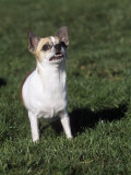 Chihuahua, Short Coat, Variety of Domestic Dog Photographic Print by Cheryl Ertelt