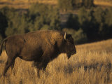 Bison (Bison Bison), Montana Photographic Print by Tom Walker