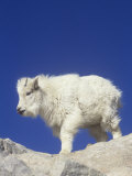 Mountain Goat Young (Oreamnos Americanus), Rocky Mountains, North America Photographic Print by Robert Lindholm