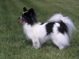 Papillon Variety of Domestic Dog Photographic Print by Cheryl Ertelt