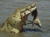 Nile Crocodile, Crocodylus Niloticus, with a Grant Gazelle in its Mouth, Kenya, East Africa Photographic Print by Fritz Polking