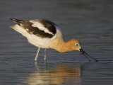 American Avocet Wading in Water and Probing for Food, Recurvirostra Americana, USA Photographic Print by John Cornell