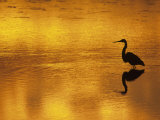 Silhouette of a Great Blue Heron, Ardea Herodias, Wading at Sunset, North America Photographic Print by Arthur Morris