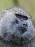 Olive Baboon Face, Papio Anubis, Lake Nakuru, Kenya, Africa Photographic Print by Arthur Morris