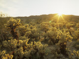 Cholla Cactus at Sunset, Sonoran Desert, Anza Borrego Desert State Park, California, USA Photographic Print by Adam Jones