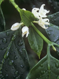 Flowers of Coffee, Coffea Arabica Photographic Print by David Sieren