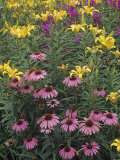 Purple Coneflowers, Echinacea Purpurea, and Daylilies, Hemerocallis, in a Garden Photographie par Adam Jones
