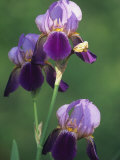 Blue Flag Iris Flowers (Iris Versicolor), Northeastern North America Photographic Print by Mark Schneider