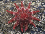 Rose Sea Star (Crossaster Papposus), Kodiak Island, Alaska, USA Photographic Print by Richard Herrmann