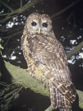 Spotted Owl (Strix Occidentalis), a Near Threatened Species, Western North America Photographic Print by Ron Spomer