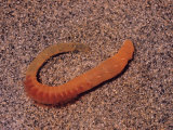 Sandworm or Lugworm (Arenicola Pusilla) Showing Gills and Setae, Polychaeta, Annelida Photographic Print by John D. Cunningham