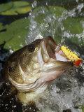 Largemouth Bass with Surface Lure Fotografisk trykk av Wally Eberhart