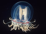 Bell Jellyfish, Polyorchis, Pacific Coast of North America Photographic Print by James McCullagh