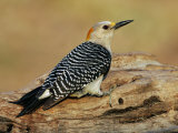 Female Golden-Fronted Woodpecker, Melanerpes Aurifrons, Texas, USA Photographic Print by John Cornell
