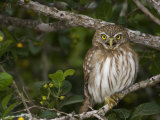 Ferruginous Pygmy Owl, Glaucidium Brasilianum, Texas, USA Photographic Print by John Cornell