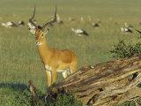 Impala, Aepyceros Melampus, Masai Mara, Kenya, Africa Photographic Print by Joe McDonald