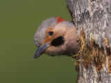 Northern Flicker at Nest Hole, Everglades National Park Photographic Print by Arthur Morris