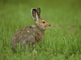 Snowshoe Hare in In its Brown Summer Fur, Lepus Americanus, North America Photographic Print by John & Barbara Gerlach