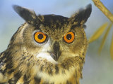 Eagle Owl Face (Bubo Bubo), the World's Largest Owl, Eurasia Photographic Print by Tom Walker