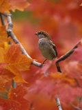 Male House Sparrow in Fall Maples (Passer Domesticus), North America Papier Photo par Steve Maslowski