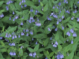 Chiming Bluebells, Mertensia Ciliata, Western North America Photographic Print by Doug Sokell